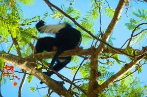 Wild Colubus monkeys