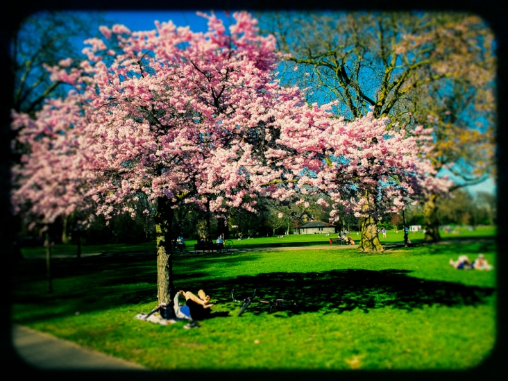 cyclist under a cherry blossom in london's battersea park