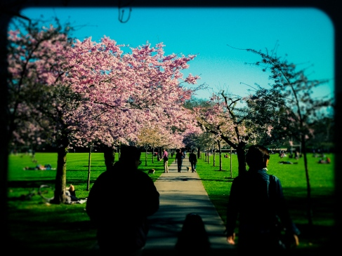 cherry blossom in london's battersea park